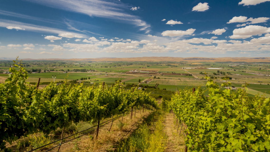 USA, Washington, Eastern Washington, Central Washington. Vineyard in summer sun in the Yakima Valley in Washington.