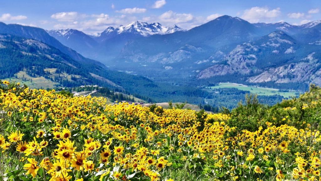 Arnica in alpine meadows. Patterson Mountain near Winthrop, Twisp. Omak, Okanogan Washington. North Cascades National Park. USA. in North Central and Eastern Washington